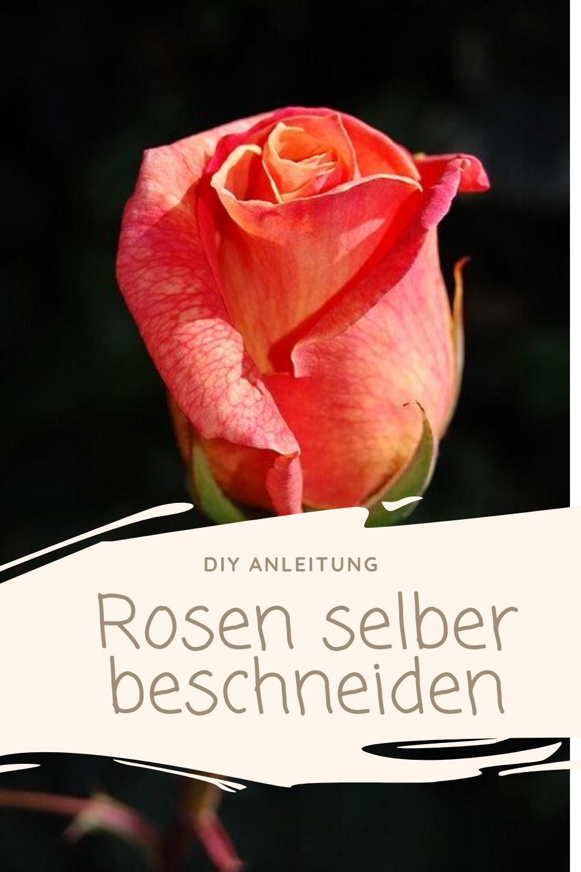 Rosen selber beschneiden